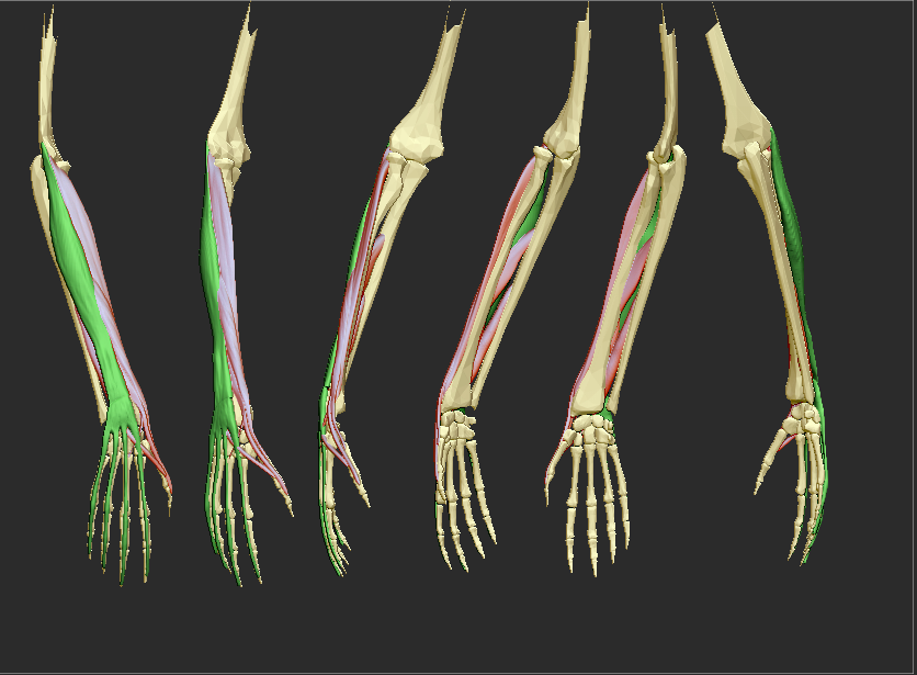 extensor_digitorium